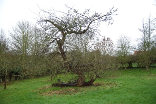 newtons-apple-tree.jpg